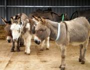 The friendly donkeys